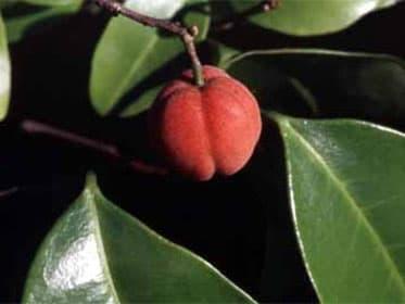 В Австралии нашли ягоду, которая за две недели уничтожила раковые опухоли