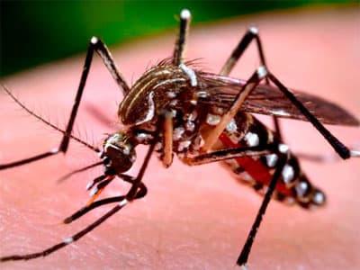 Вирус под названием чикунгунья идет на смену лихорадке Эбола