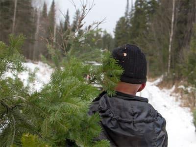 Незаконные рубки новогодних елей караются законом