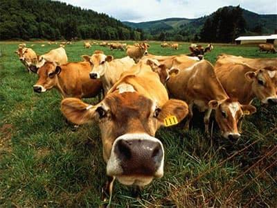 Искусственное осеменение коров было и остается одним из эффективных способов сохранения потомства