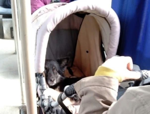 В Нефтекамске в детской коляске перевозили собаку