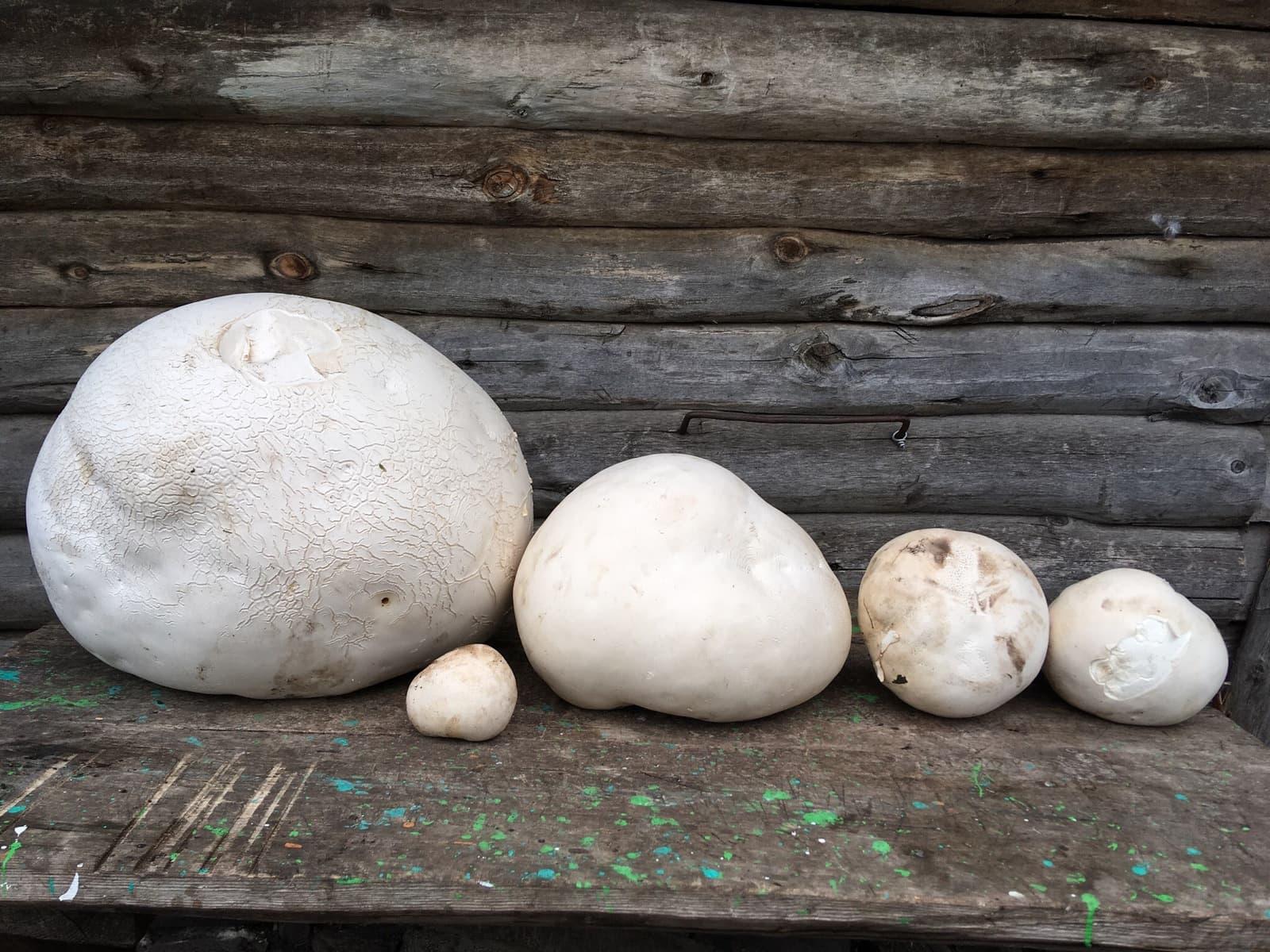 В Белорецком районе нашли гигантский гриб-дождевик