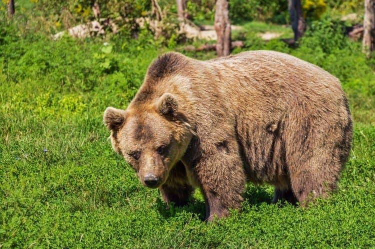В Аургазинском районе в одну из деревень повадился медведь