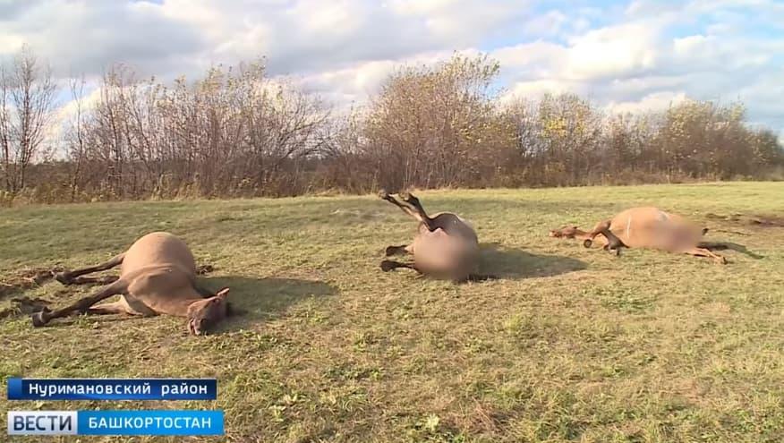 В Нуримановском районе преступники расстреляли табун лошадей