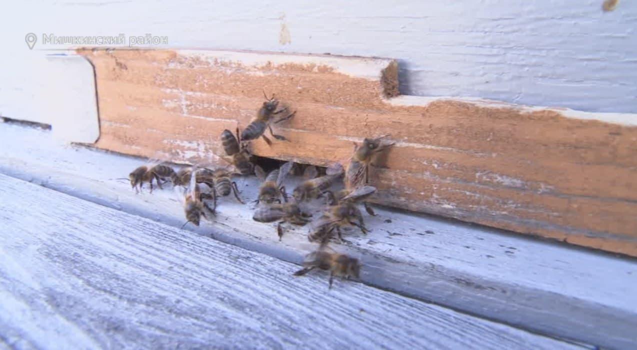 Пчеловод из Мишкинского района изобрел метод, позволяющий увеличить производительность маточного молочка